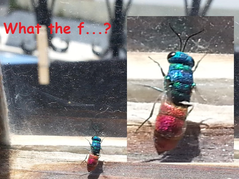 I Looked, but I Didn't Touch. I Think I Found a Cuckoo Wasp!
