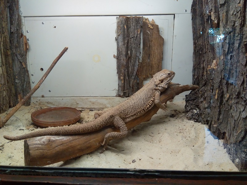 Bearded Dragons Need a Much Larger Home!